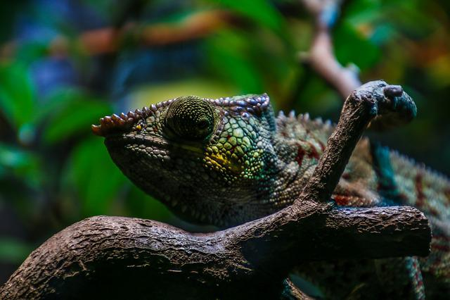 Chameleon, Reptile, Color, Scale, Close, Colorful, Zoo