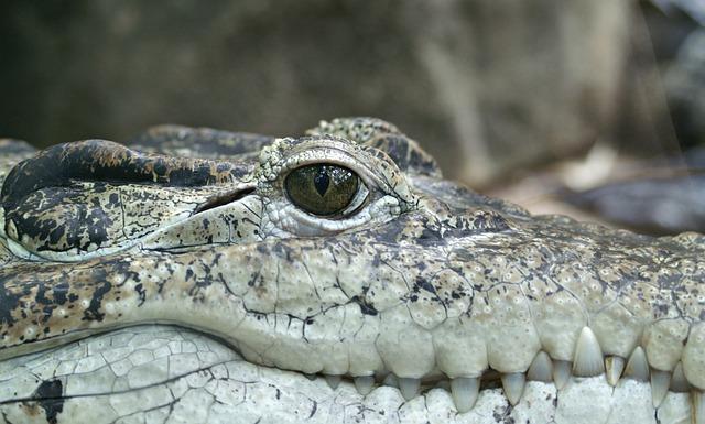 Crocodile, Animal, Eye, Alligator, Reptile, Hunter