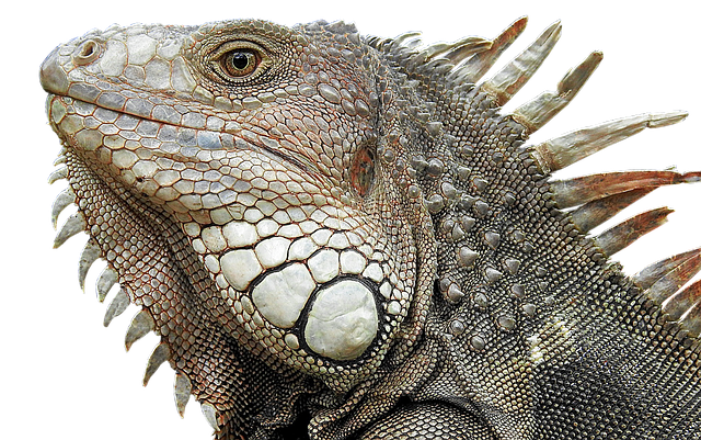 Lizard, Reptile, Dragon, Vertebrate, Animal
