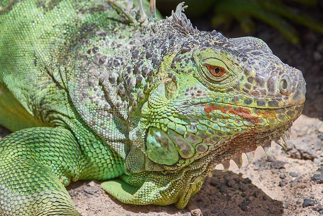 Iguana, Green, Lizard, Reptile, Animal, Zoo, Scaly