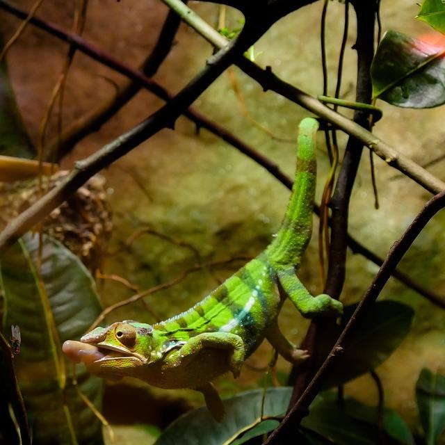 Animal, Chameleon, Reptile, Lizard, Tropical, Hunt, Fly