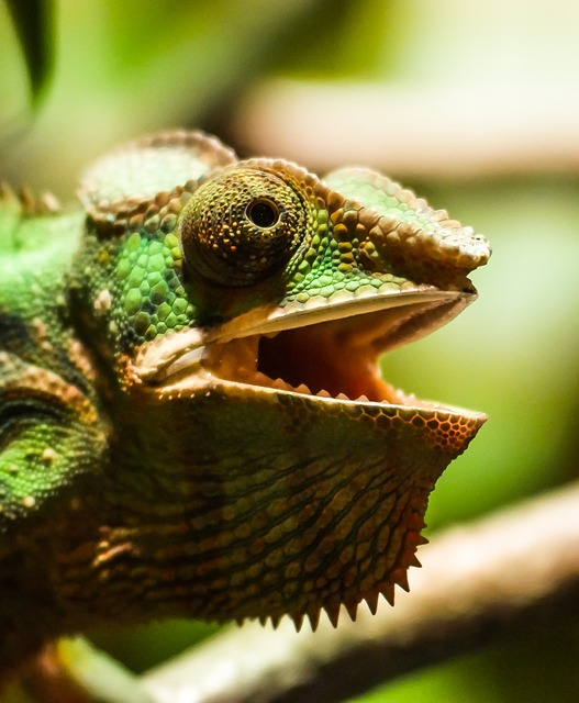 Animal, Chameleon, Reptile, Head, Insect Eater, Exotic
