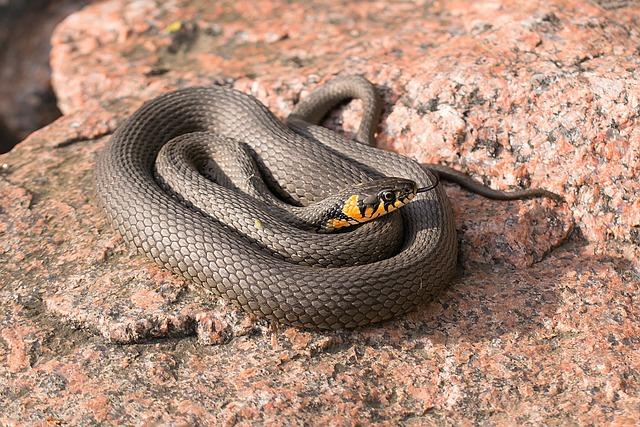 Snake, Grass Snake, Reptile, Natrix Natrix