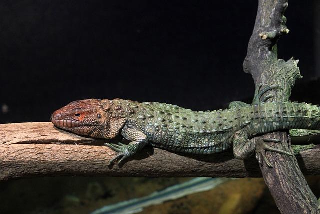 Northern Caiman Lizard, Lizard, Reptile, Animal