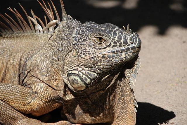 Iguana, Dragon, Reptile, Animal, Creature, Scale