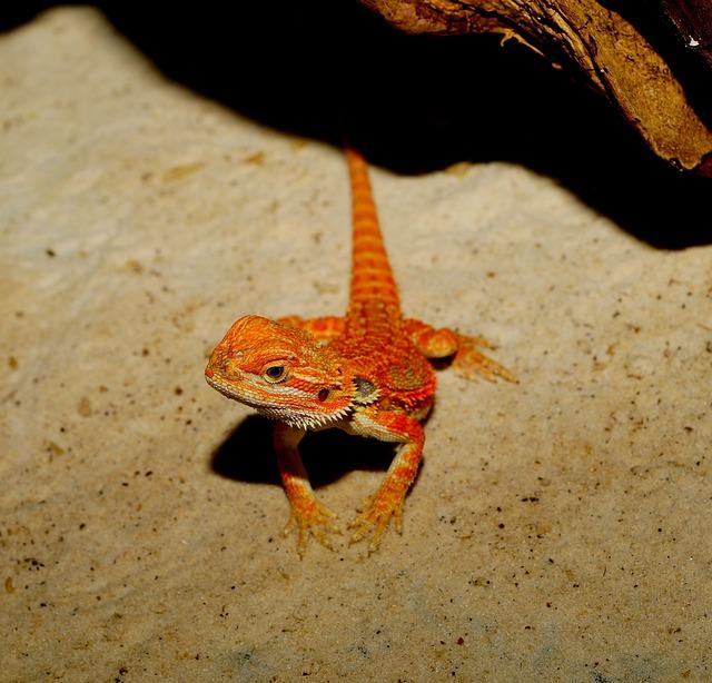 Lizard, Bearded Dragon, Orange, Reptile, Animal, Scale