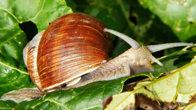 Snail, Shell, Mollusk, Reptile, Leaves, Close, Slowly