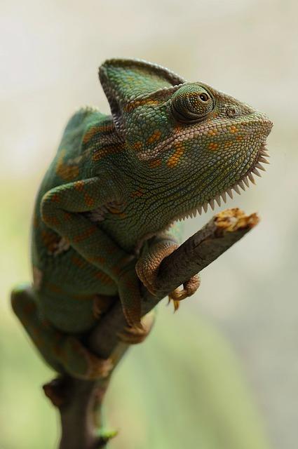 Chameleon, Reptile, Animal, Veiled Chameleon