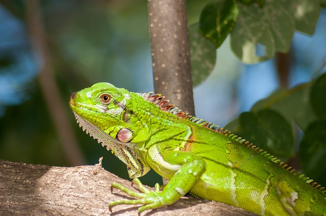 Iguana, Reptile, Wildlife, Nature, Outside, Macro
