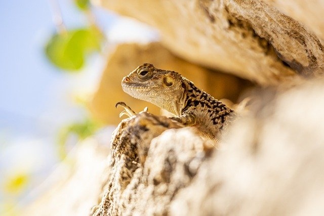 Rock, Lizard, Reptiles, Nature, Agama, Cyprus, Portrait