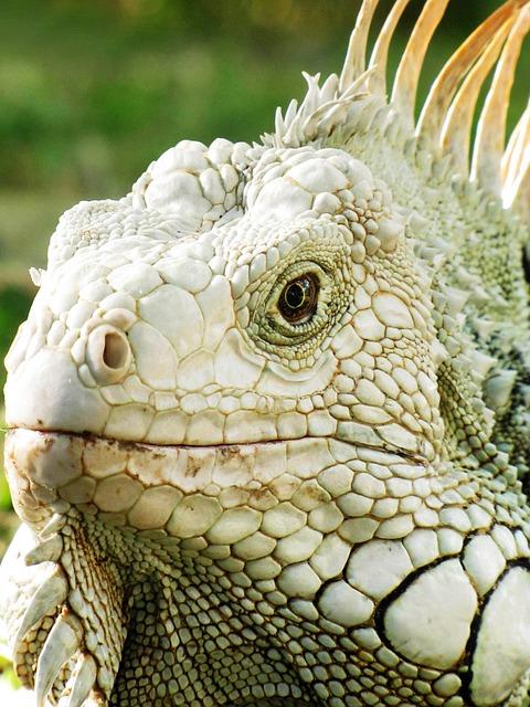 Lizard, Reptilia, Nature, Animalia