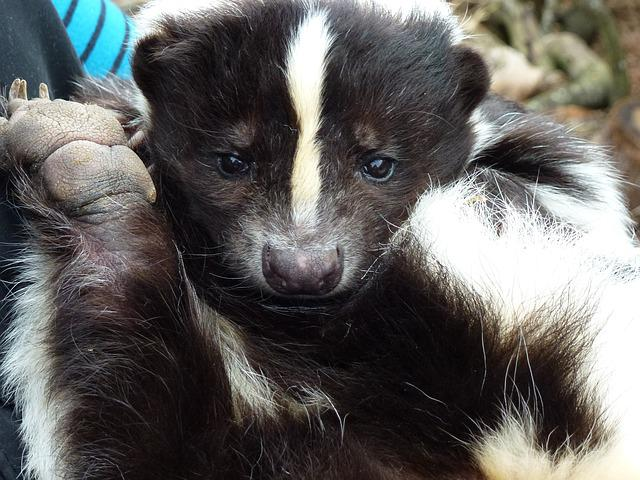 Longleat, Skunk, Rescued
