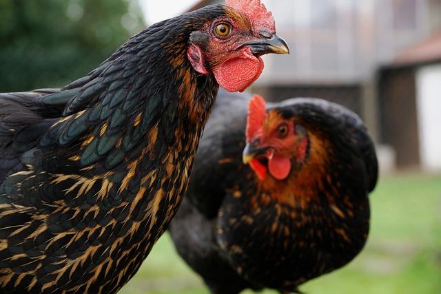 Chicken, Curiosity, Eye, View, Research Spirit, Animal