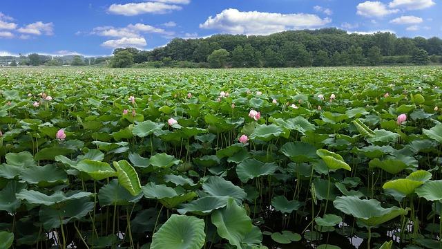 Lotus, Reservoir, The Rainy Season, In Full Bloom