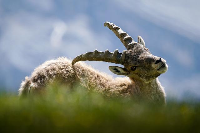 Animal, Ibex, Respect, Mammal, No Hunting, Nature