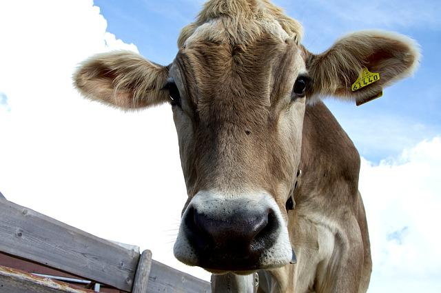 Look Into My Eyes, Cow, Alm, Curious, Rest, Hike