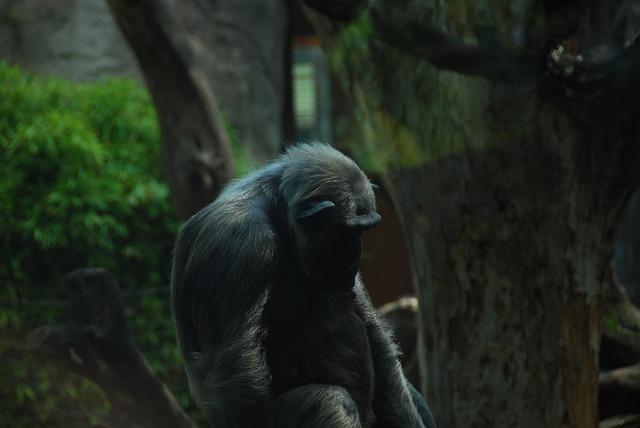 Ape, Chimpanzee, Old, Primate, Rest, Animal, Zoo Animal