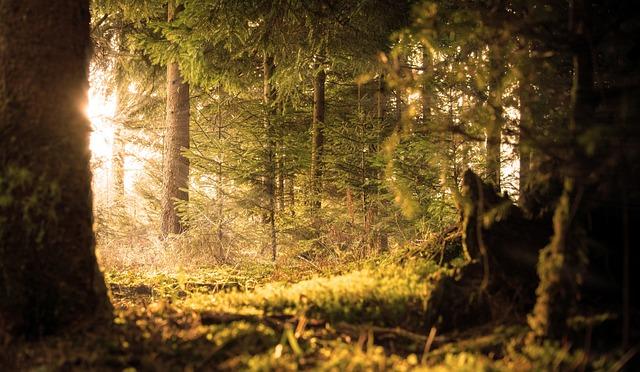Forest, Sun, Rays, Emergence, Rest, Heat, Silent, Fir