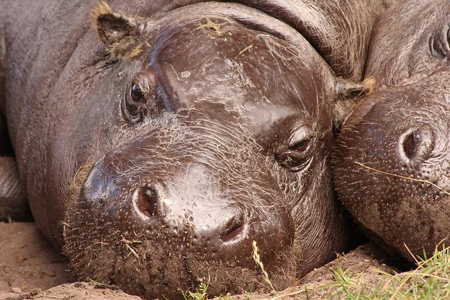 Hippo, Zoo, Hippopotamus, Rest
