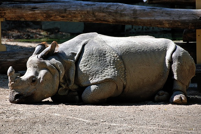 Rhino, Lying, Zoo, Rest Pause, Outdoor Enclosures