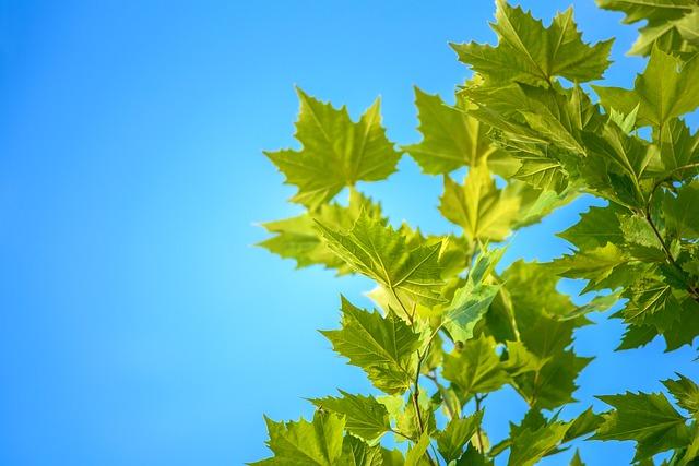 Maple Leaves, Blue Sky, Summer, Nature, Rest, Sky
