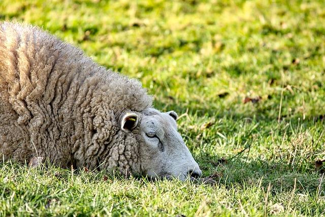 Sheep, Lying, Rest, Meadow, Pasture, Wool, Animal