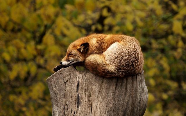 Fox, Sleeping, Resting, Relaxing, Red, Animal, Wild