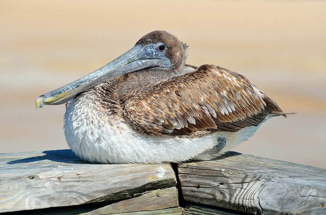 Pelican, Bird, Avian, Resting, Nature, Water, Animal
