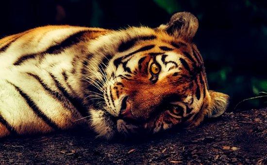 Tiger, Animal, Wildlife, Resting, Macro, Closeup