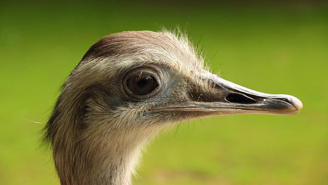Rhea Bird, Head, Big Bird, Flightless Bird, Bird, Bill