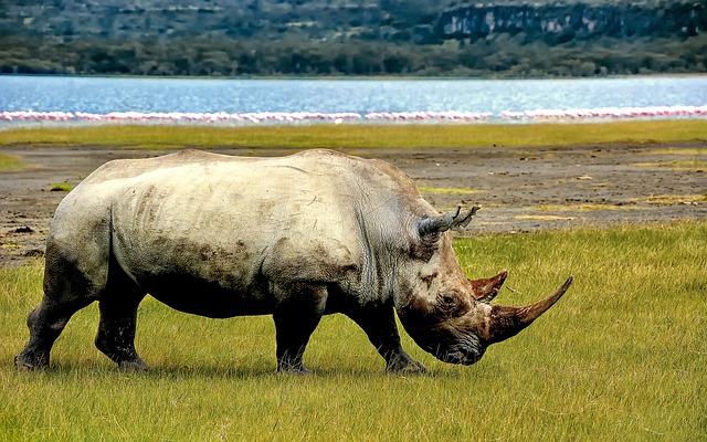 Rhino, Rhinoceros, Animal, Wild, Wild Life, Africa