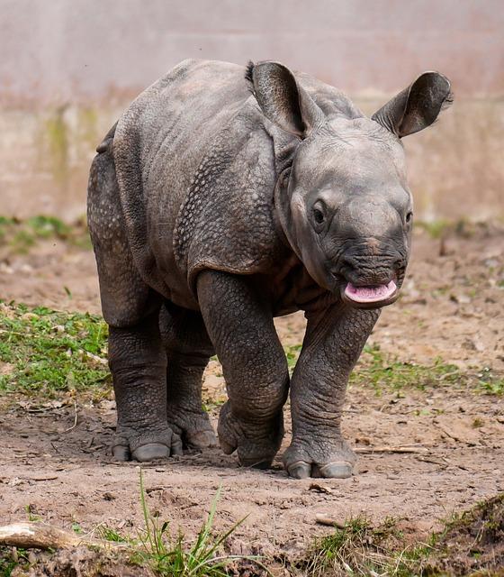 Rhino, Animal, Pachyderm, Rhino Baby, Rhino Young