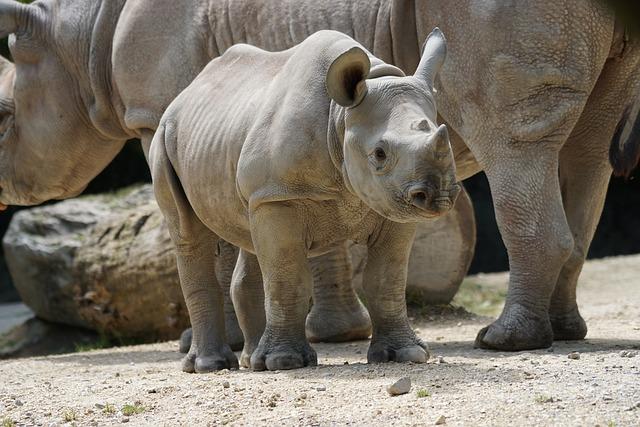 Rhino, Young, Mammal, Zurich, Zoo