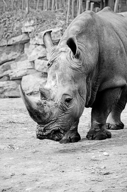 Rhino, White Rhino, Rhinoceros, Pachyderm, Big Game