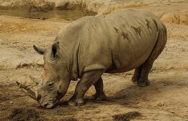 White Rhinoceros, White Rhino, Rhinoceros