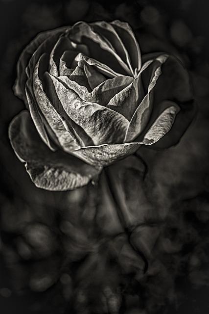 Rhodes, Rose, White, Flower