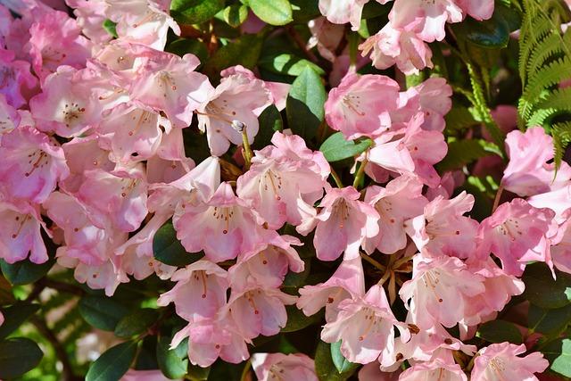 Rhododendron, Rhododendron Buds, Rhododendron Flower