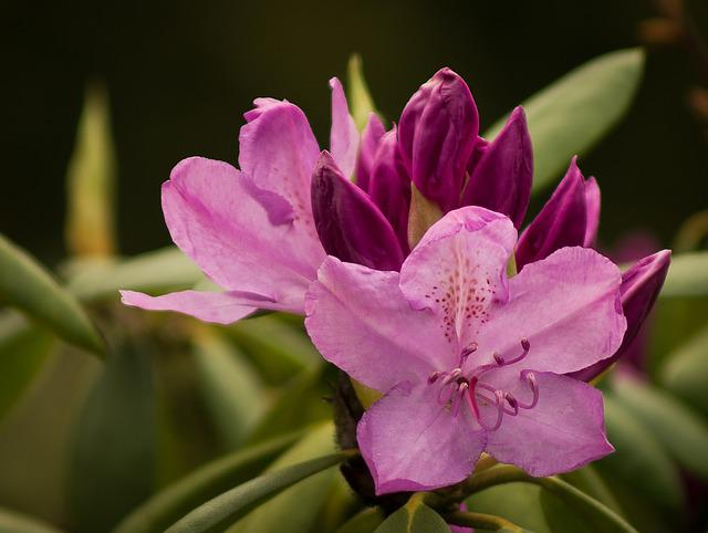 Rhododendron, Rhododendron Cosima, Heather Green