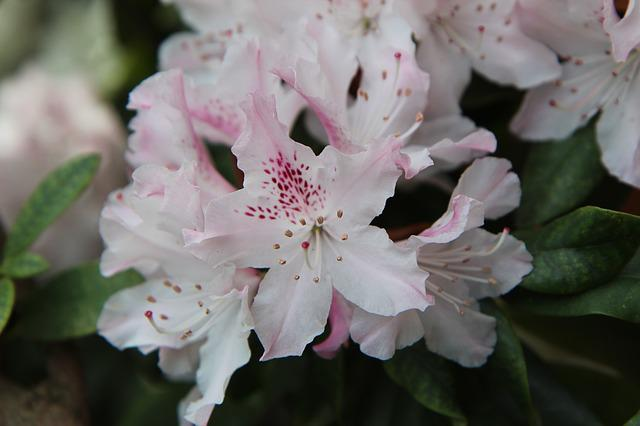 Rhododendron Pink, Rhododendron, Flowering, Spring