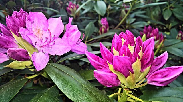 Rhododendron, Flowers, Flower Buds, Pink