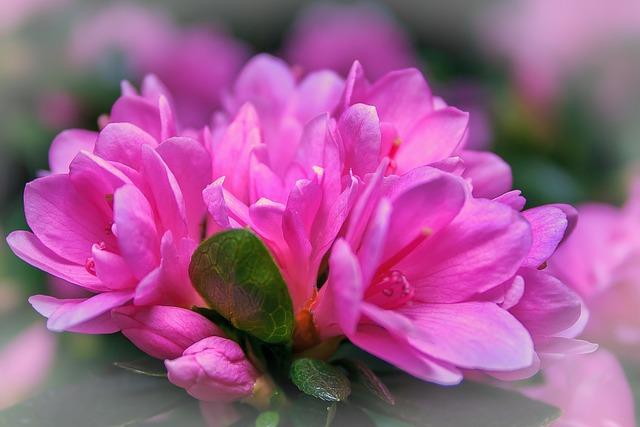 Azalea, Rhododendron, Kirin, Pink, Plant, Flora