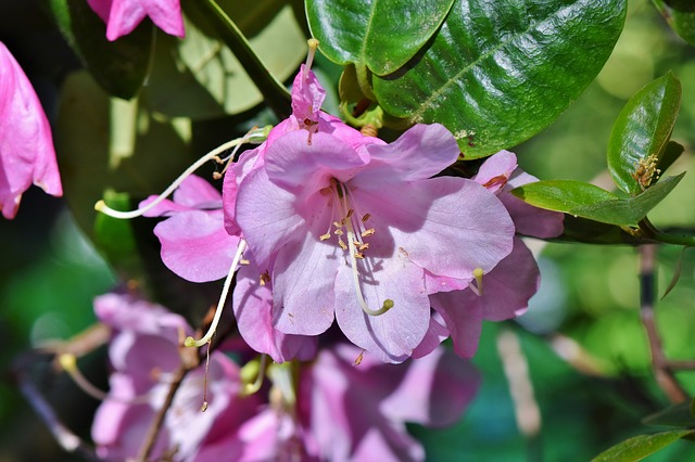 Rhododendron, Rhododendron Buds, Rhododedron Flowering