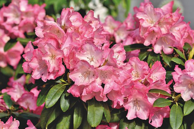 Rhododendron, Rhododendron Buds