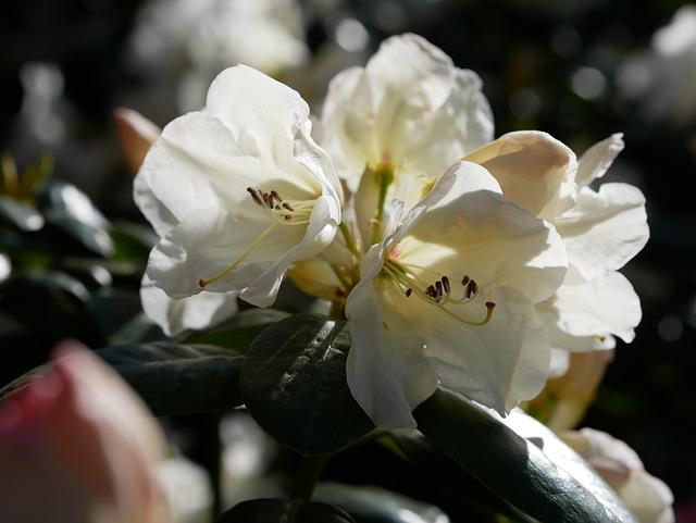 Rhododendron, Spring, Rhododendron Flower, Pistil
