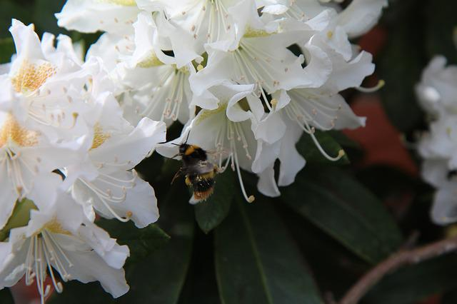 Rhododendron White, Bourdon, Insect, Rhododendron