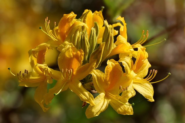 Rhododendron, Flowers, Close, Bright, Yellow, Blossom