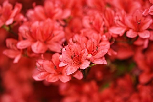 Azaleas, Rhododendrons, Flowers, Petals, Red Petals