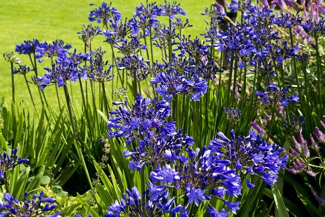 Agapanthus Flowers, Deep Blue, Rhs Hyde Hall Garden