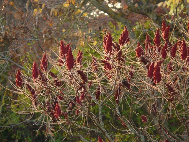 Rhus, Deciduous, Rhus Typhina, Summer Green Bush, Bush