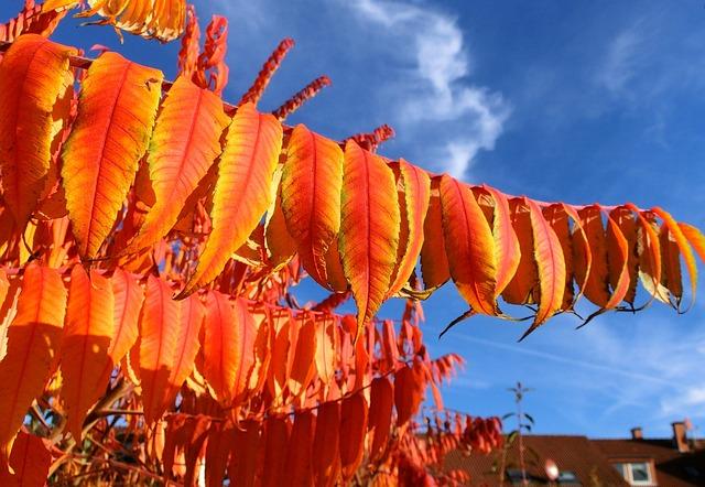 Rhus, Deciduous, Rhus Typhina, Leaves, Colorful